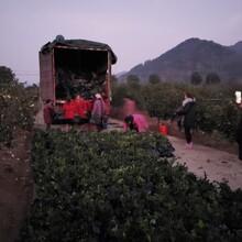 泉州兩年生油茶苗基地直銷圖片