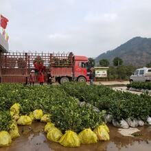 蚌埠容器袋油茶苗價格圖片