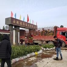 淮北兩年生油茶苗基地價格圖片