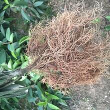婁底黑老虎苗種植地圖片