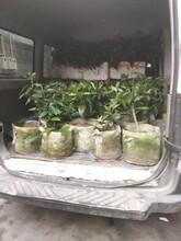 茂名黑老虎苗供应图片