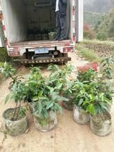 宜宾黑老虎苗供应图片