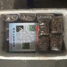 北海黑老虎种子培育图片