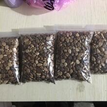 武汉黑老虎种子供应图片