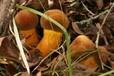新鮮黃牛肝菌代理加盟