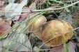 寧波新鮮美味牛肝菌供應