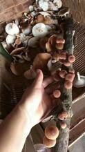 湛江野生香菇直销图片