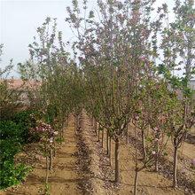 沈阳海棠树苗大量供应图片