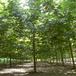 伊犁哈薩克法桐樹苗品種齊全