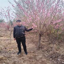 汤旺河区碧桃量大优惠图片