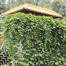 姑蘇區室外綠植養護報價圖片