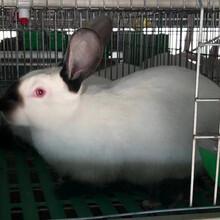比利时兔养殖场肉兔市场行情合作养殖肉兔免费教养殖技术包回收图片