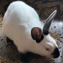 肉兔种兔价格种兔养殖厂家肉兔兔苗肉兔批发市场价格图片