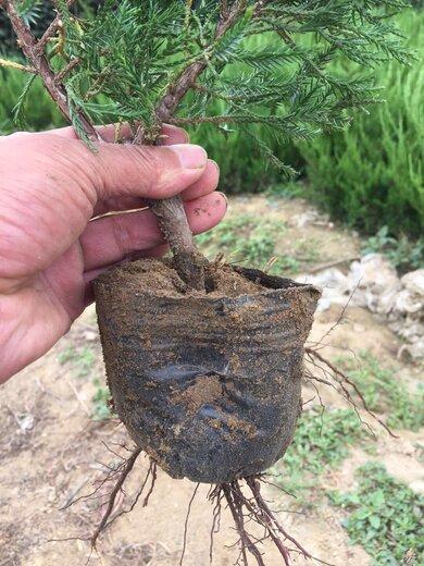 沈阳50厘米龙柏苗种植基地