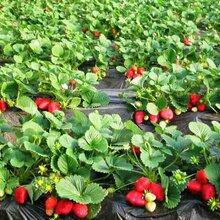 濟南妙香7號草莓苗零售圖片