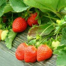 济南全明星草莓苗培育方法图片