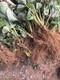 桃熏草莓苗图