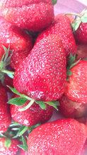 青岛全明星草莓苗苗圃自育苗图片