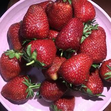 青島全明星草莓苗市場價格圖片