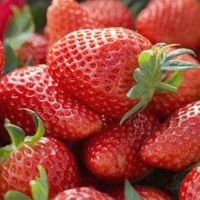 济南草莓苗图片图片