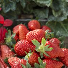 济南甜宝草莓苗成熟时间图片