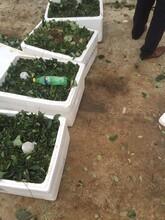 济南甜宝草莓苗提供栽植方法图片