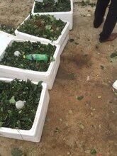 妙香7號草莓苗低價供應圖片