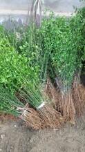 篱笆用枸橘苗种植方式图片