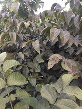 重庆8518核桃苗苗圃直销图片