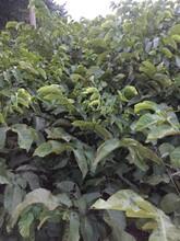 香玲核桃苗苗圃自育苗图片
