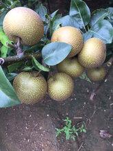 3公分梨树苗报价图片