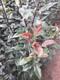 梨树苗品种图