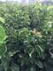 南水梨树苗品种图