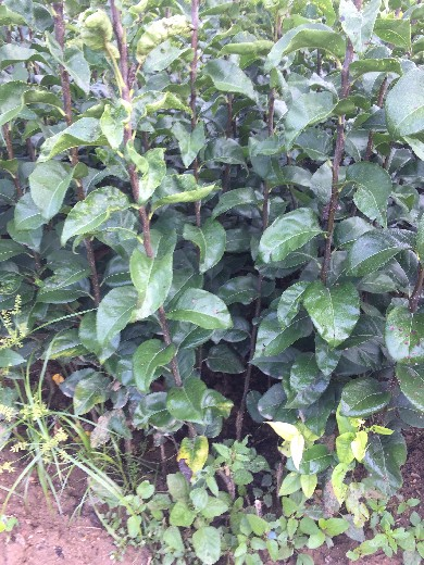 南水梨树苗品种