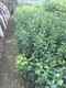 黄金梨树苗图