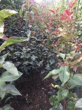 青岛红梨树苗树苗特点图片