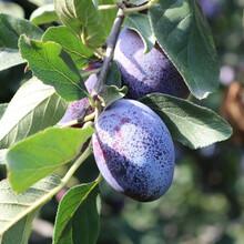 青岛3公分李子树苗优质品种图片