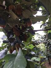 红心猕猴桃树苗货源图片