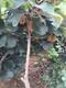 青岛猕猴桃树苗苗圃自育苗ub8优游娱乐手机图