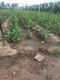 猕猴桃树苗质优价廉图