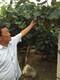 青岛红心猕猴桃树苗质优价廉图