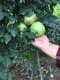 富士苹果苗图