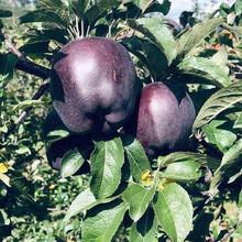 济南红富士苹果苗特点图片