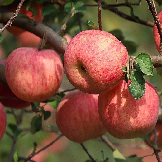青岛富士苹果苗提供管理技术