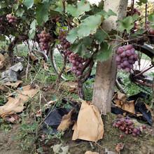 重庆葡萄树苗提供管理技术图片