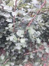 济南甜山楂树苗苗圃自育苗图片