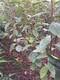 重慶澀柿子樹苗新品種圖