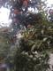 青岛甜柿子树苗保湿邮寄图