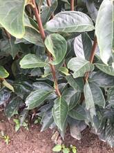 涩柿子树苗栽植方法图片