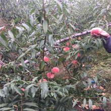 锦绣黄桃苗种植方式图片